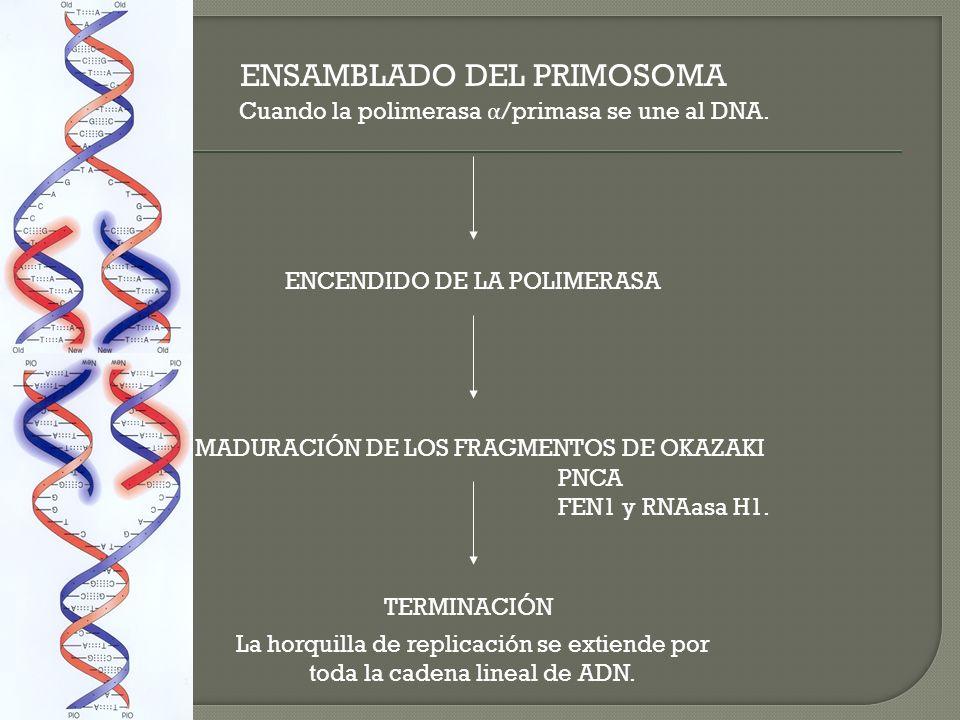 ENSAMBLADO DEL PRIMOSOMA Cuando la polimerasa α /primasa se une al DNA. ENCENDIDO DE LA POLIMERASA MADURACIÓN DE LOS FRAGMENTOS DE OKAZAKI TERMINACIÓN