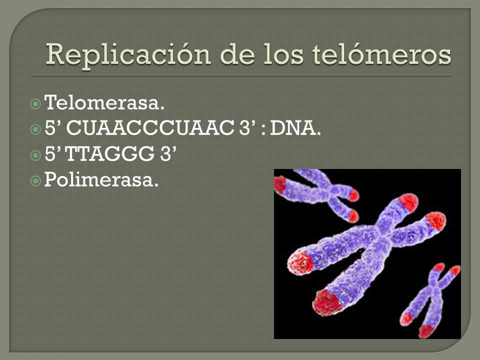 Telomerasa. 5 CUAACCCUAAC 3 : DNA. 5 TTAGGG 3 Polimerasa.