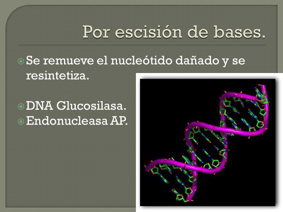 Se remueve el nucleótido dañado y se resintetiza. DNA Glucosilasa. Endonucleasa AP.