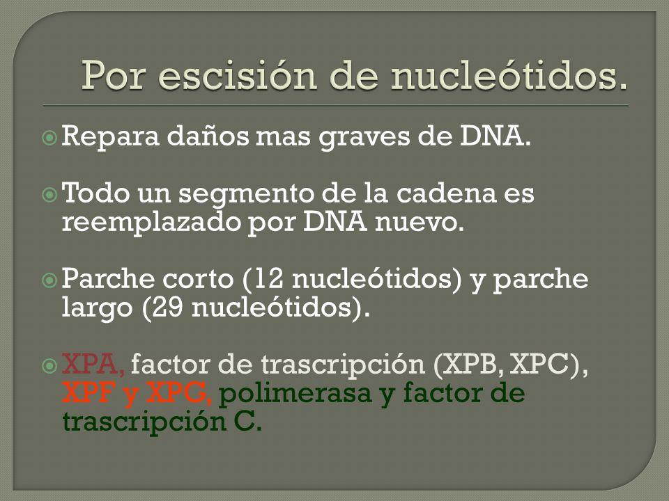 Repara daños mas graves de DNA. Todo un segmento de la cadena es reemplazado por DNA nuevo. Parche corto (12 nucleótidos) y parche largo (29 nucleótid