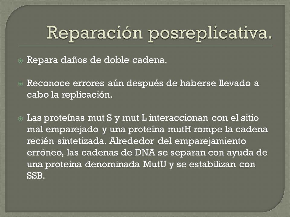 Repara daños de doble cadena. Reconoce errores aún después de haberse llevado a cabo la replicación. Las proteínas mut S y mut L interaccionan con el