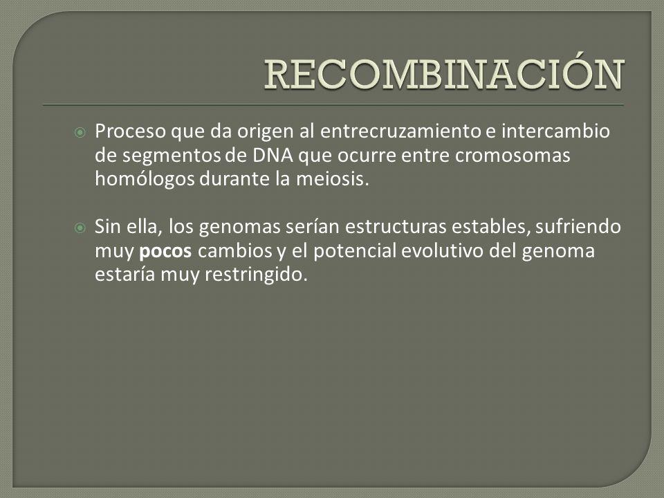 Proceso que da origen al entrecruzamiento e intercambio de segmentos de DNA que ocurre entre cromosomas homólogos durante la meiosis. Sin ella, los ge