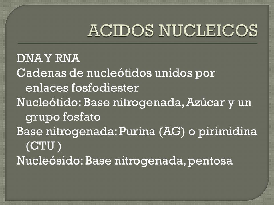 DNA Y RNA Cadenas de nucleótidos unidos por enlaces fosfodiester Nucleótido: Base nitrogenada, Azúcar y un grupo fosfato Base nitrogenada: Purina (AG)