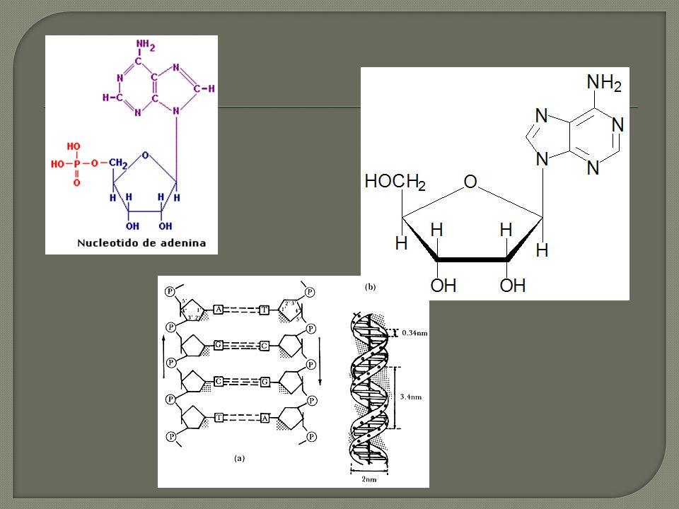 Helicoidal Antiparalera A=T, G=C Bases unidas por puentes hidrogeno -Polinucleotidos -Experimentos de Chargaff (T=A, G=C) -Fotografias de rayos X.34nm, 3.4nm y 2nm