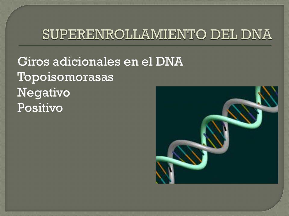 Giros adicionales en el DNA Topoisomorasas Negativo Positivo