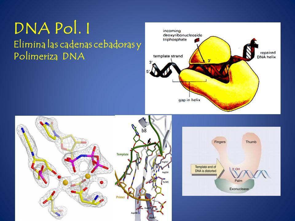 DNA Pol. I Elimina las cadenas cebadoras y Polimeriza DNA
