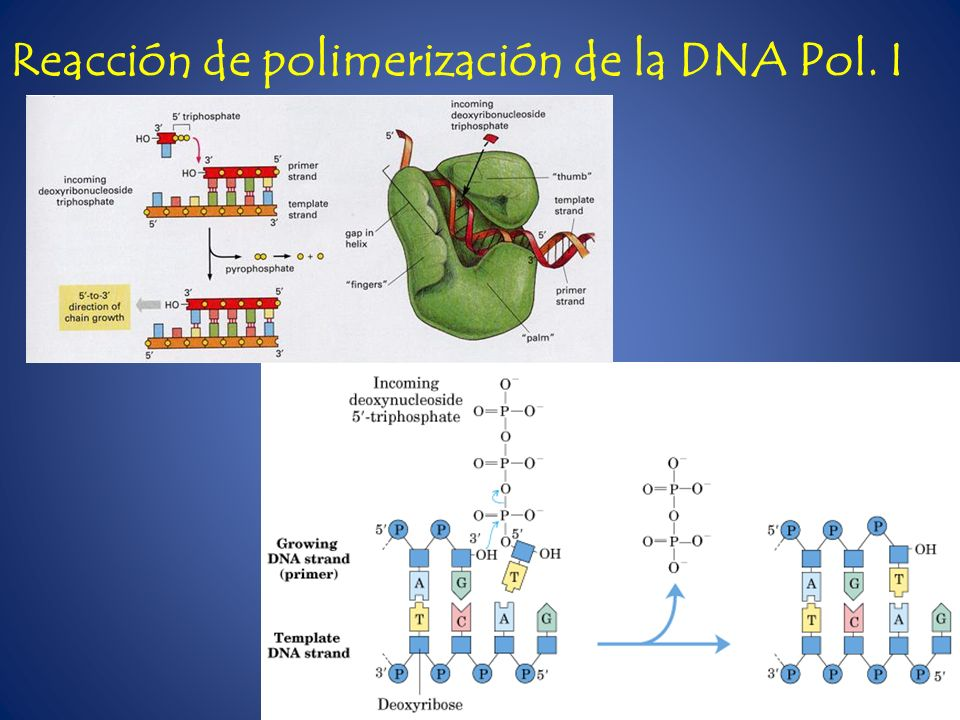 Reacción de polimerización de la DNA Pol. I
