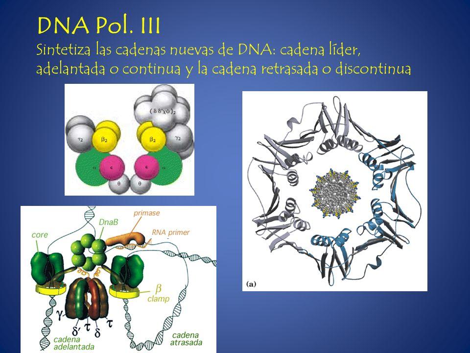 DNA Pol. III Sintetiza las cadenas nuevas de DNA: cadena líder, adelantada o continua y la cadena retrasada o discontinua