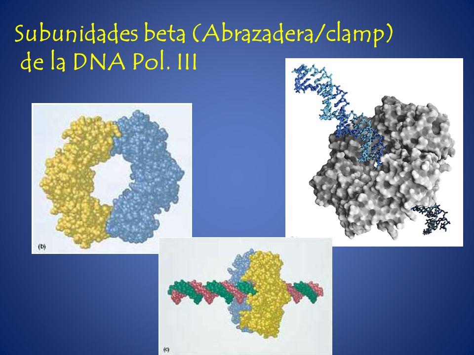 Subunidades beta (Abrazadera/clamp) de la DNA Pol. III
