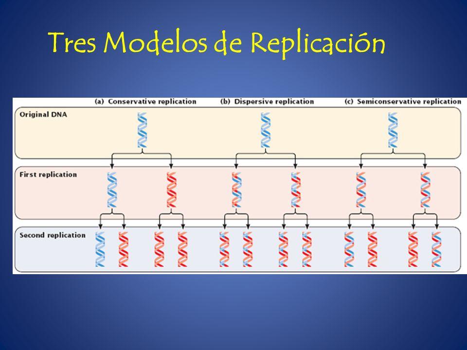 Meselson y Stahl (1957) Replicación Semiconservativa La replicación es semiconservativa Cada hebra se usa como molde para sintetizar otra Los nucleótidos se unen por complementariedad Se sintetiza una cadena nueva a partir de cada cadena original La respeta la disposición anti paralela de la hebras
