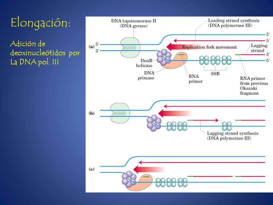 Elongación: Adición de deoxinucleótidos por La DNA pol. III