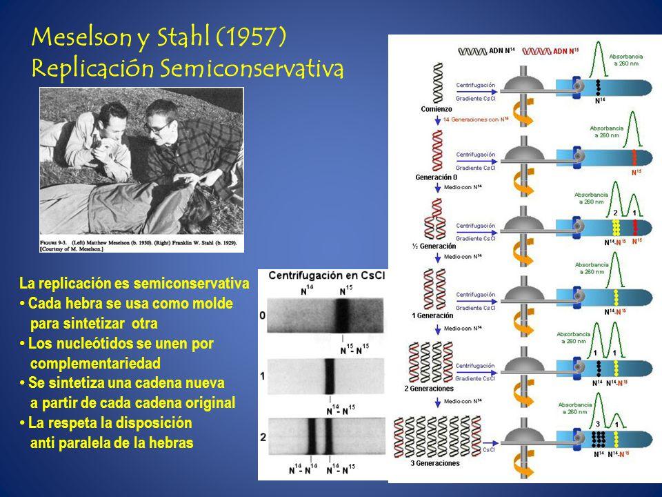 Meselson y Stahl (1957) Replicación Semiconservativa La replicación es semiconservativa Cada hebra se usa como molde para sintetizar otra Los nucleóti