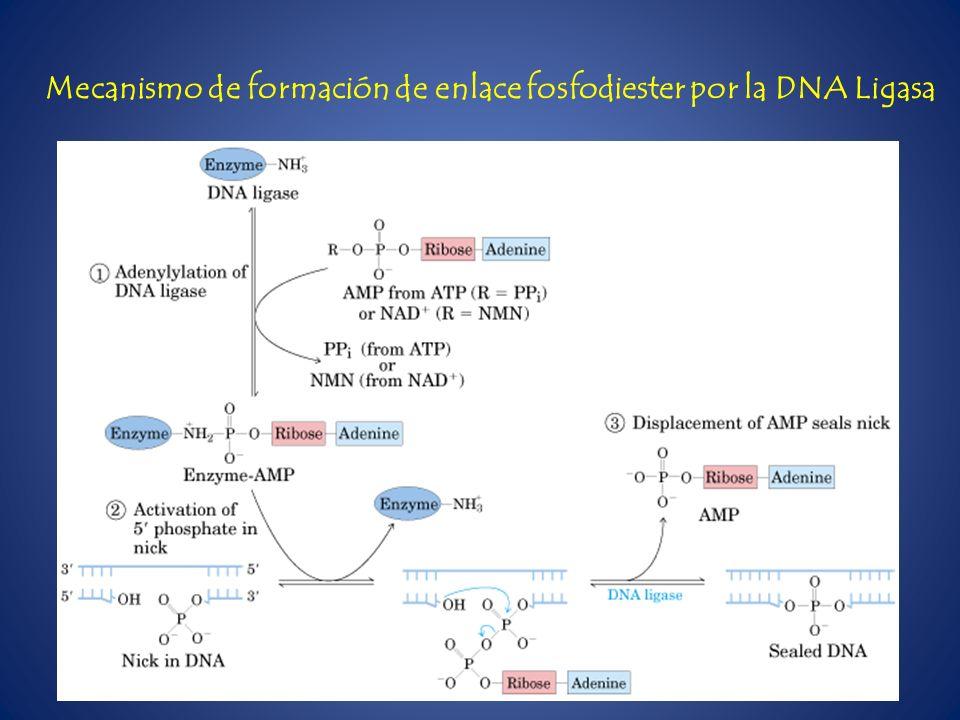 Mecanismo de formación de enlace fosfodiester por la DNA Ligasa