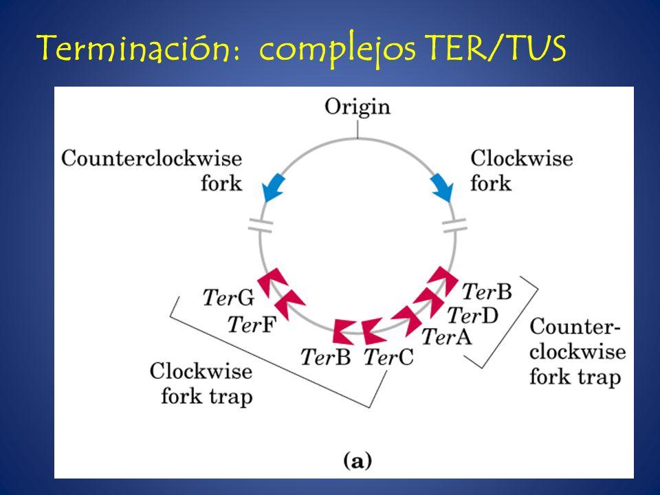 Terminación: complejos TER/TUS