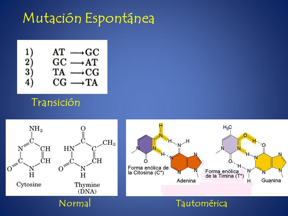 Transición Normal Tautomérica Mutación Espontánea