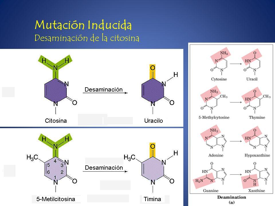 Mutación Inducida Desaminación de la citosina
