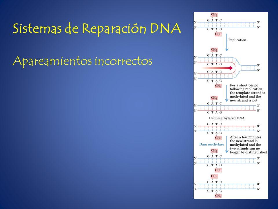 Sistemas de Reparación DNA Apareamientos incorrectos