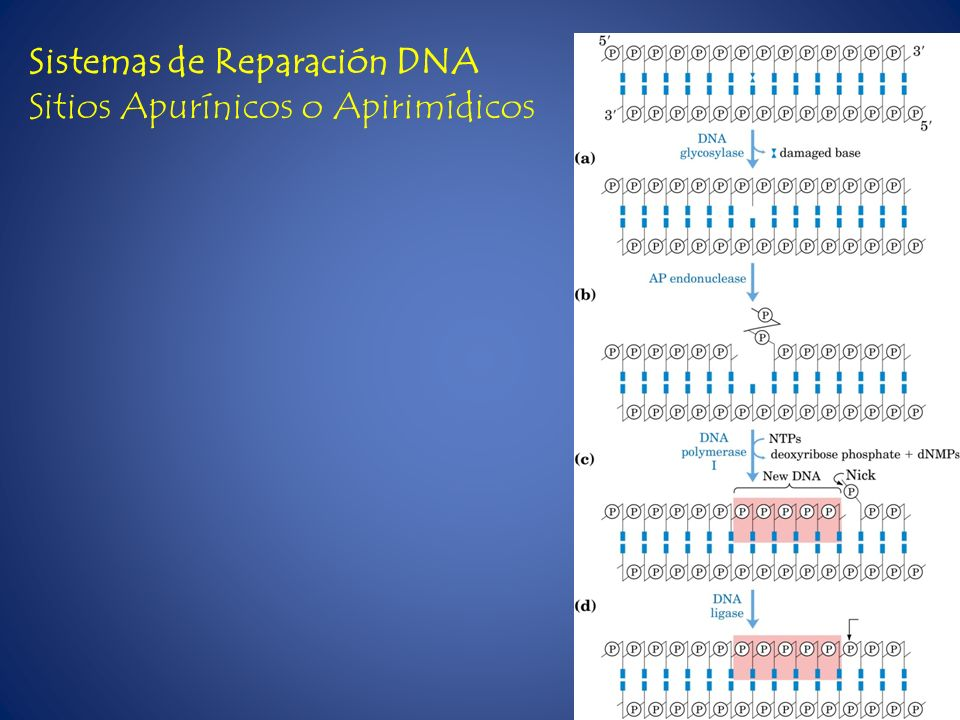 Sistemas de Reparación DNA Sitios Apurínicos o Apirimídicos