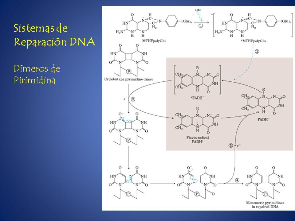 Sistemas de Reparación DNA Dímeros de Pirimidina
