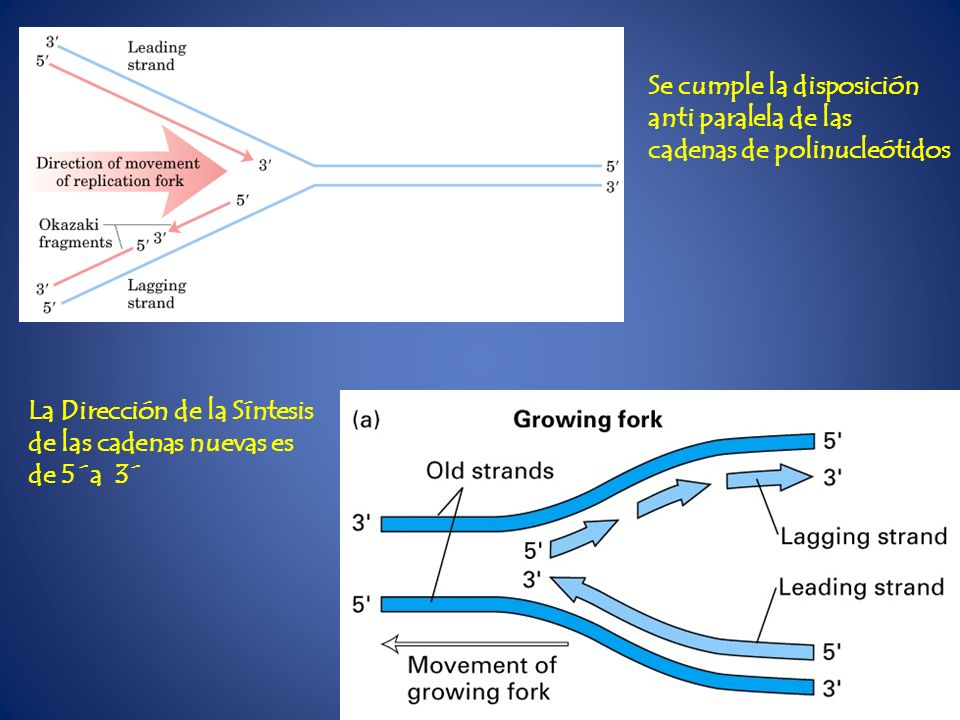 Se cumple la disposición anti paralela de las cadenas de polinucleótidos La Dirección de la Síntesis de las cadenas nuevas es de 5´a 3´
