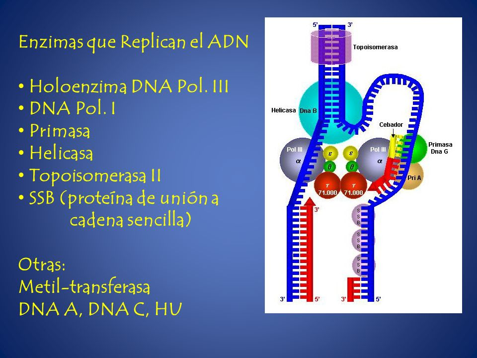 Enzimas que Replican el ADN Holoenzima DNA Pol. III DNA Pol. I Primasa Helicasa Topoisomerasa II SSB (proteína de unión a cadena sencilla) Otras: Meti