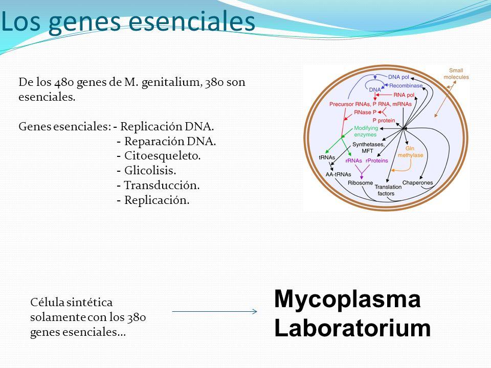 Los genes esenciales De los 480 genes de M. genitalium, 380 son esenciales. Genes esenciales: - Replicación DNA. - Reparación DNA. - Citoesqueleto. -