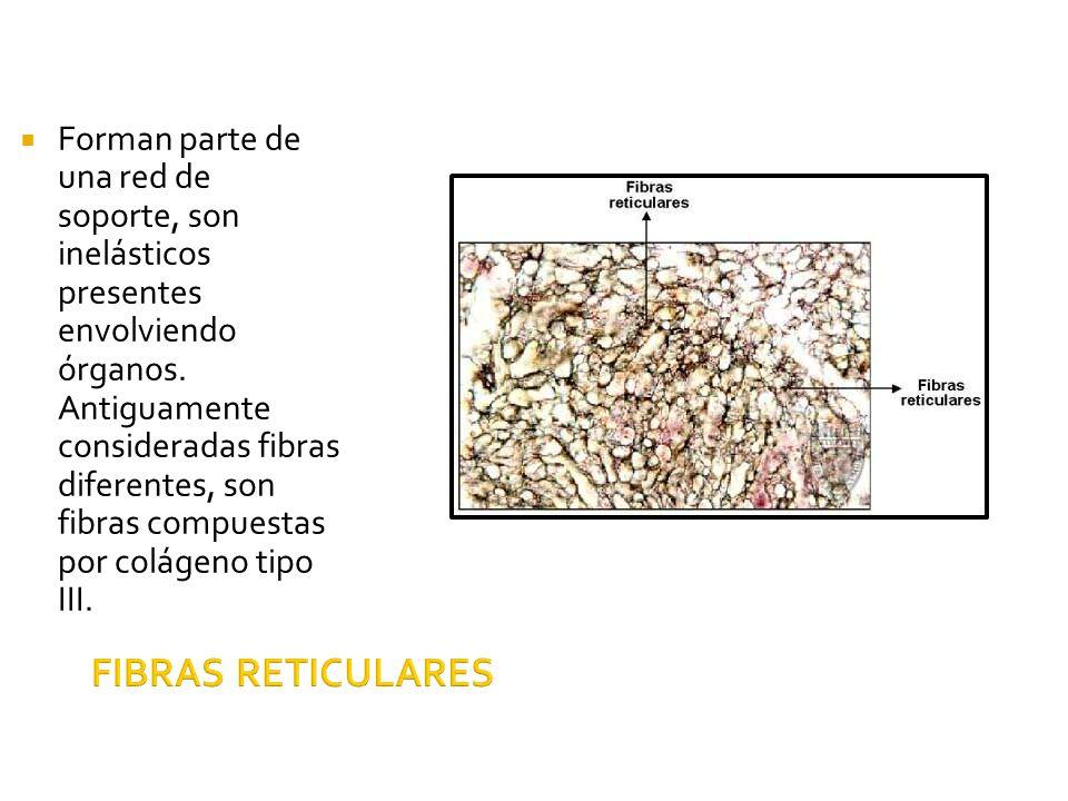 FIBRAS RETICULARES Forman parte de una red de soporte, son inelásticos presentes envolviendo órganos. Antiguamente consideradas fibras diferentes, son