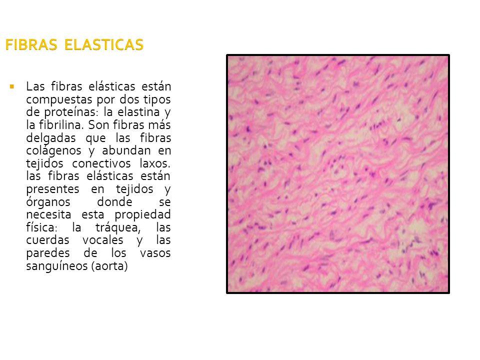 FIBRAS ELASTICAS Las fibras elásticas están compuestas por dos tipos de proteínas: la elastina y la fibrilina. Son fibras más delgadas que las fibras