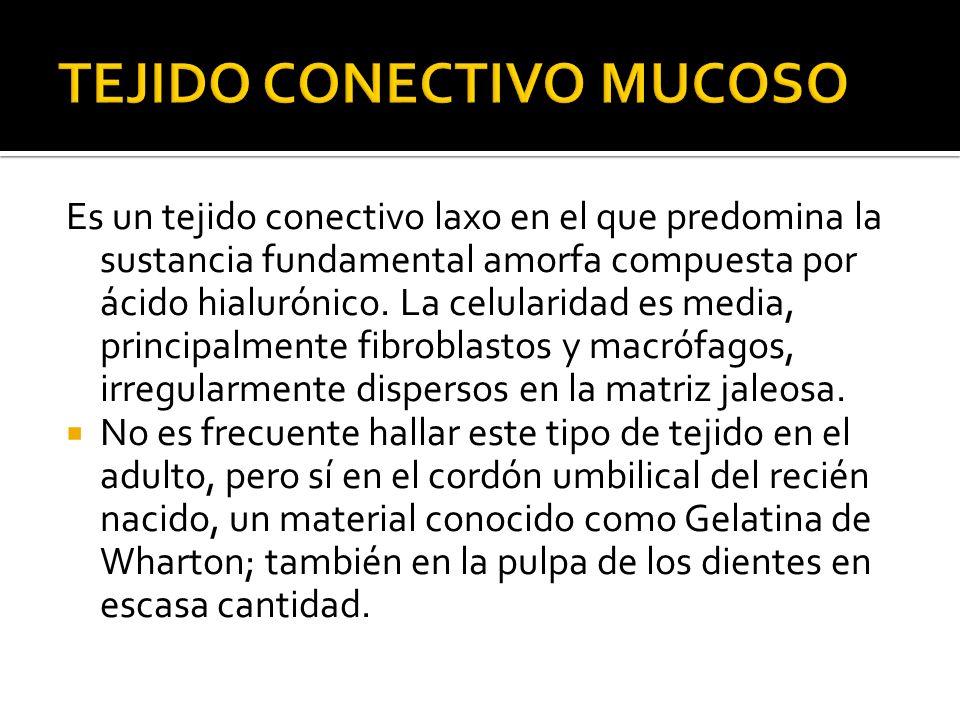 Es un tejido conectivo laxo en el que predomina la sustancia fundamental amorfa compuesta por ácido hialurónico. La celularidad es media, principalmen