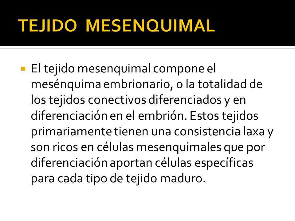 El tejido mesenquimal compone el mesénquima embrionario, o la totalidad de los tejidos conectivos diferenciados y en diferenciación en el embrión. Est