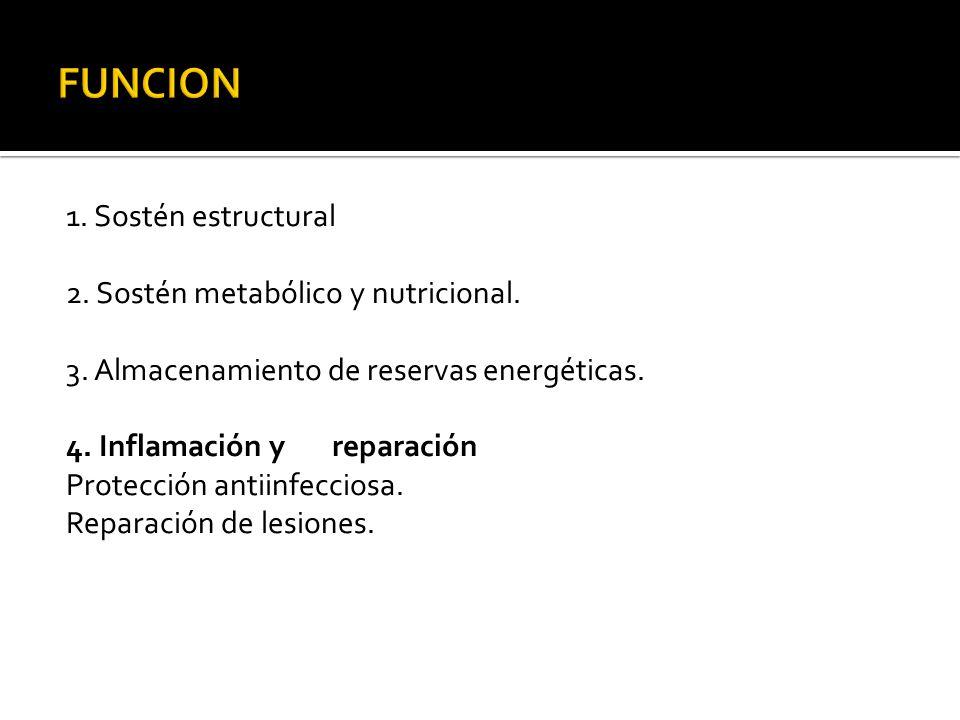 1. Sostén estructural 2. Sostén metabólico y nutricional. 3. Almacenamiento de reservas energéticas. 4. Inflamación y reparación Protección antiinfecc