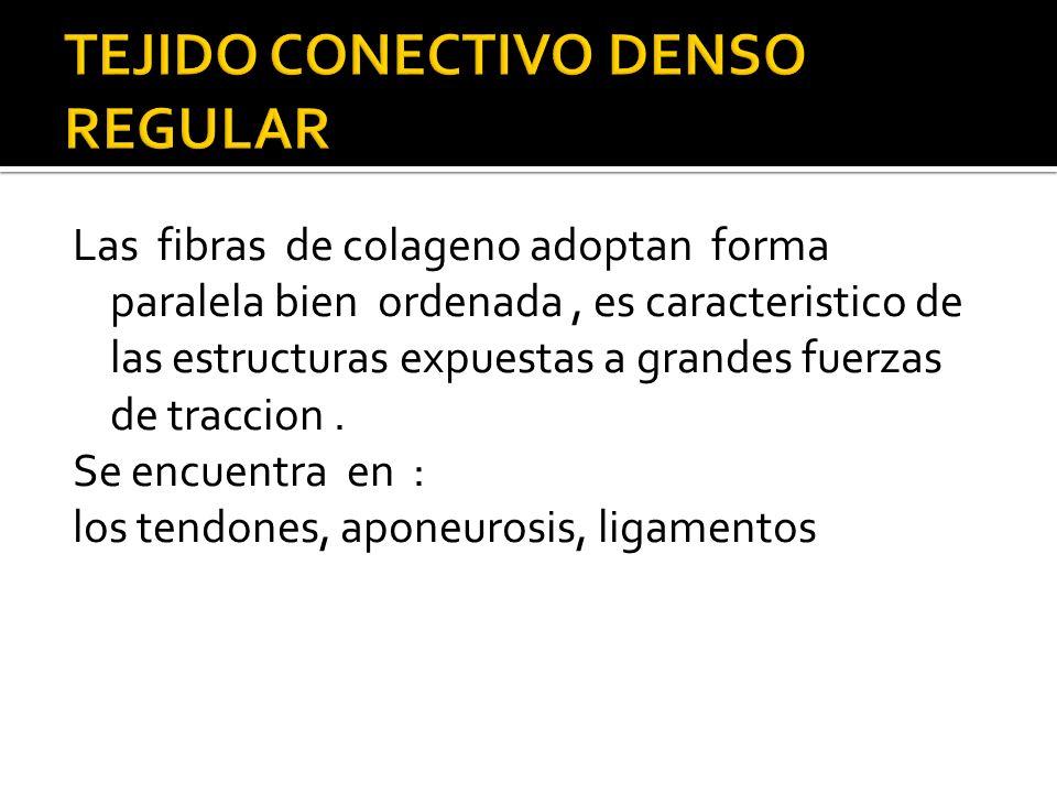 Las fibras de colageno adoptan forma paralela bien ordenada, es caracteristico de las estructuras expuestas a grandes fuerzas de traccion. Se encuentr