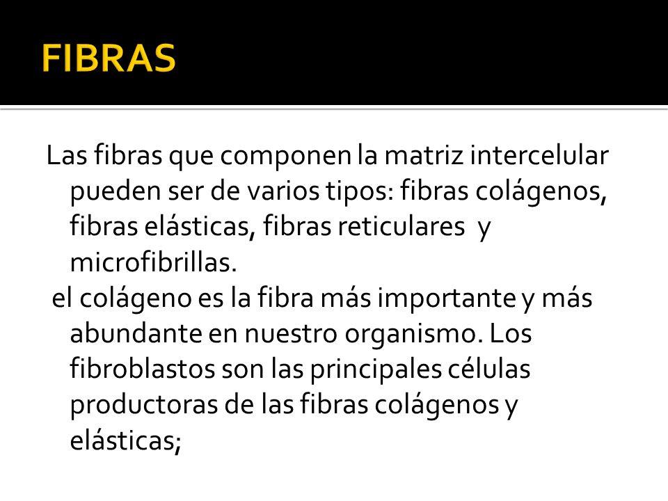 Las fibras que componen la matriz intercelular pueden ser de varios tipos: fibras colágenos, fibras elásticas, fibras reticulares y microfibrillas. el