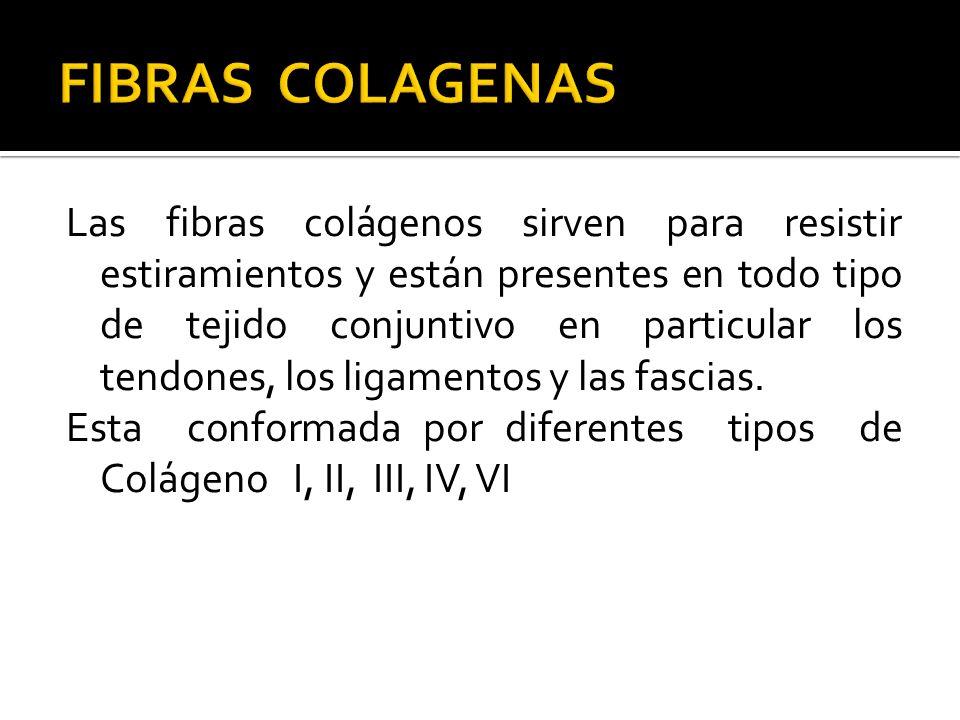 Las fibras colágenos sirven para resistir estiramientos y están presentes en todo tipo de tejido conjuntivo en particular los tendones, los ligamentos