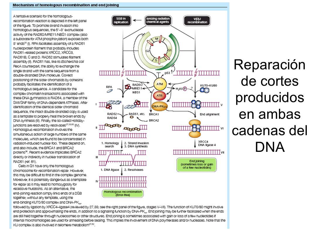 Reparación de cortes producidos en ambas cadenas del DNA