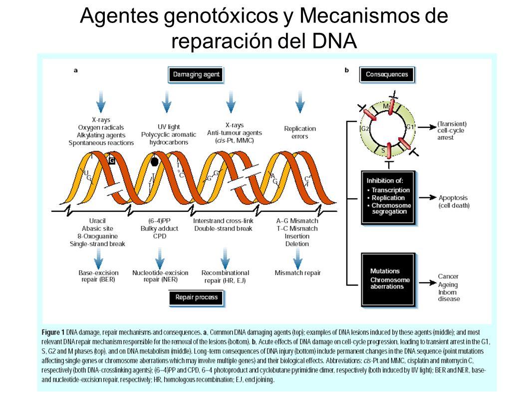 Agentes genotóxicos y Mecanismos de reparación del DNA