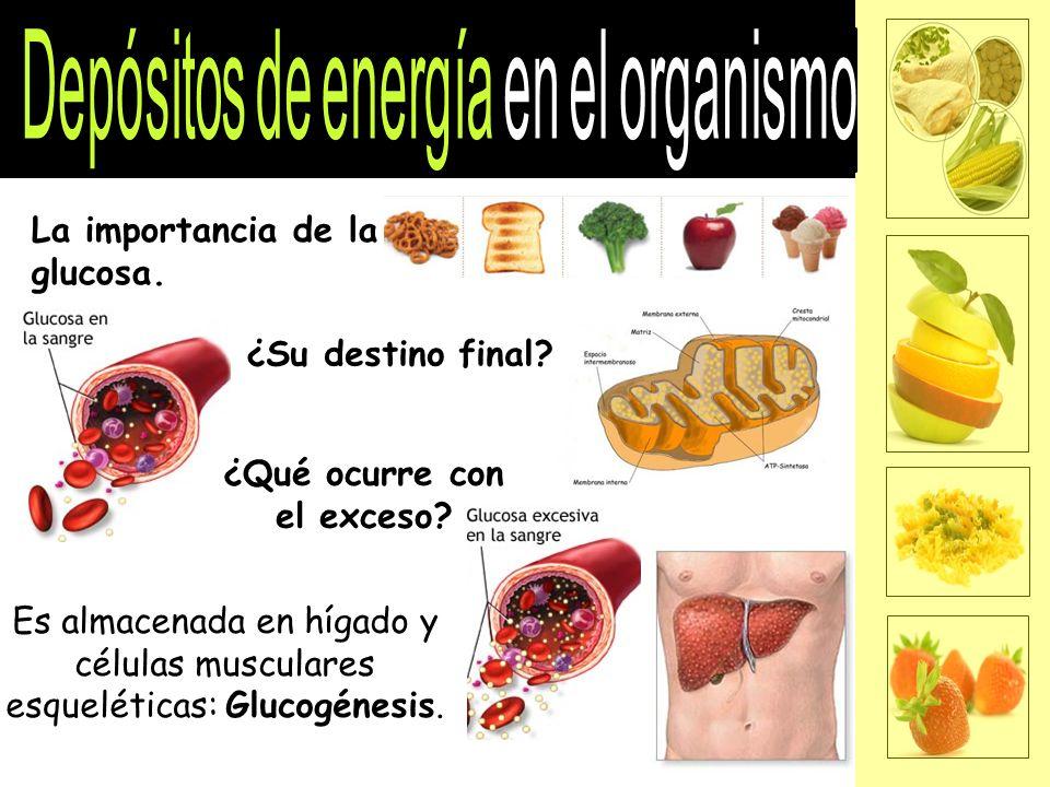 La importancia de la glucosa.¿Su destino final.