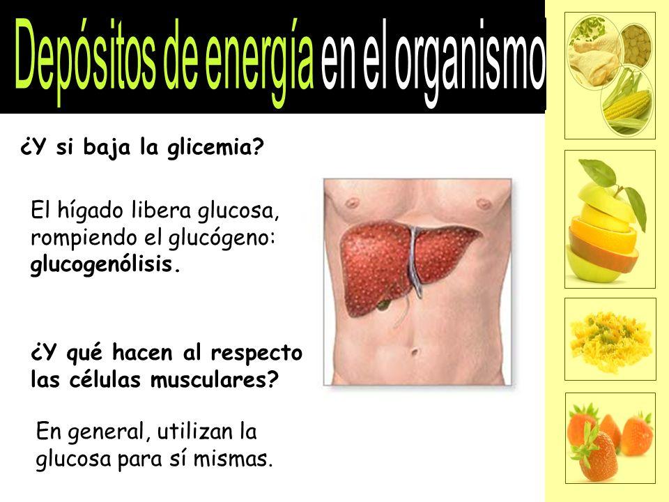 ¿Y si baja la glicemia.El hígado libera glucosa, rompiendo el glucógeno: glucogenólisis.