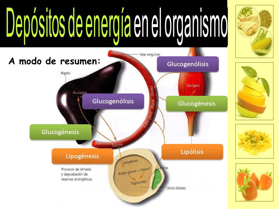 A modo de resumen: Glucogénesis Glucogenólisis Lipogénesis Lipólisis