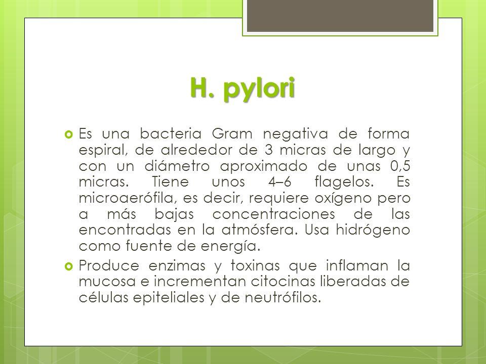 H. pylori Es una bacteria Gram negativa de forma espiral, de alrededor de 3 micras de largo y con un diámetro aproximado de unas 0,5 micras. Tiene uno