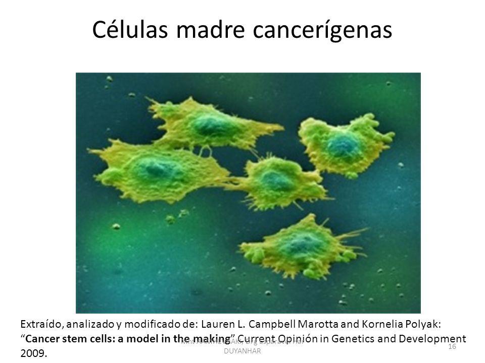 Células madre cancerígenas Extraído, analizado y modificado de: Lauren L. Campbell Marotta and Kornelia Polyak:Cancer stem cells: a model in the makin