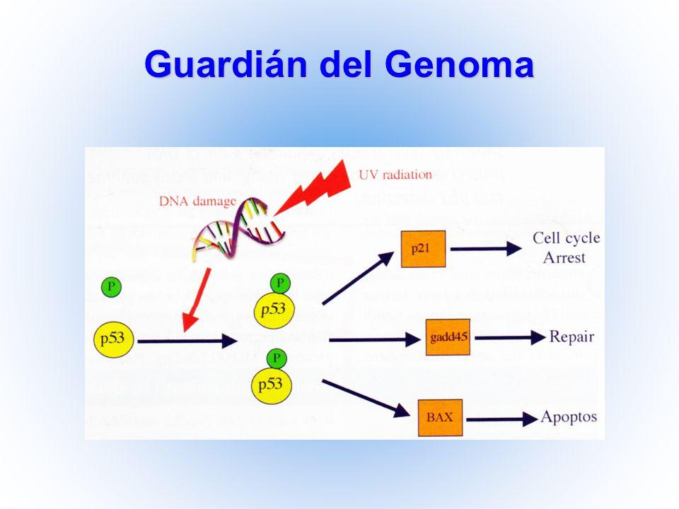 Guardián del Genoma