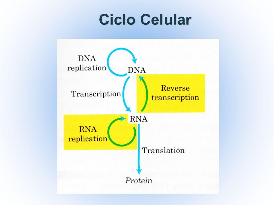 El ADN es una molécula sumamente estable que se replica con una precisión asombrosa, pero se producen cambios en la estructura del ADN y errores en su replicación.
