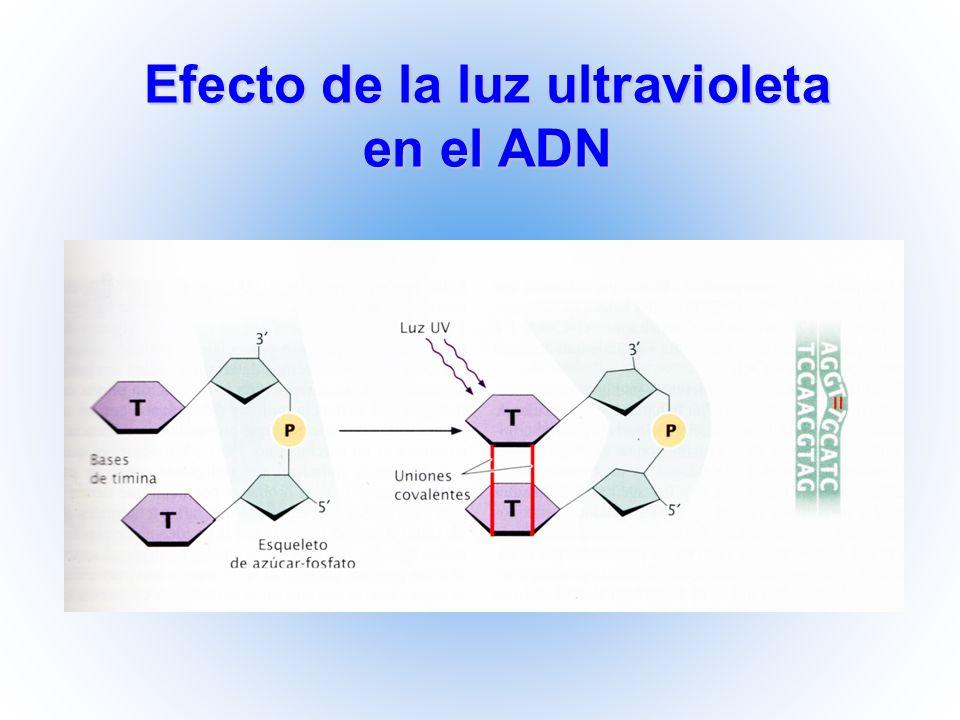 Efecto de la luz ultravioleta en el ADN