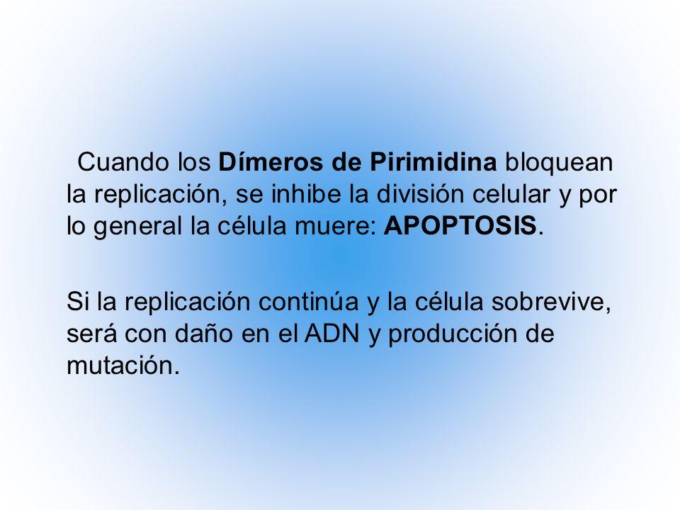 Cuando los Dímeros de Pirimidina bloquean la replicación, se inhibe la división celular y por lo general la célula muere: APOPTOSIS. Si la replicación