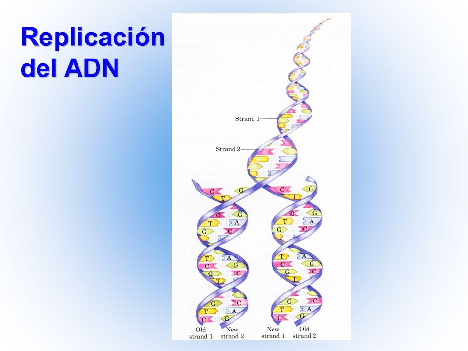 Vía básica de la reparación del ADN Mecanismo 1.Detección: Reconocimieto de la zona dañada del ADN 2.Escisión: Enzimas que cortan ambos lados del ADN dañado.