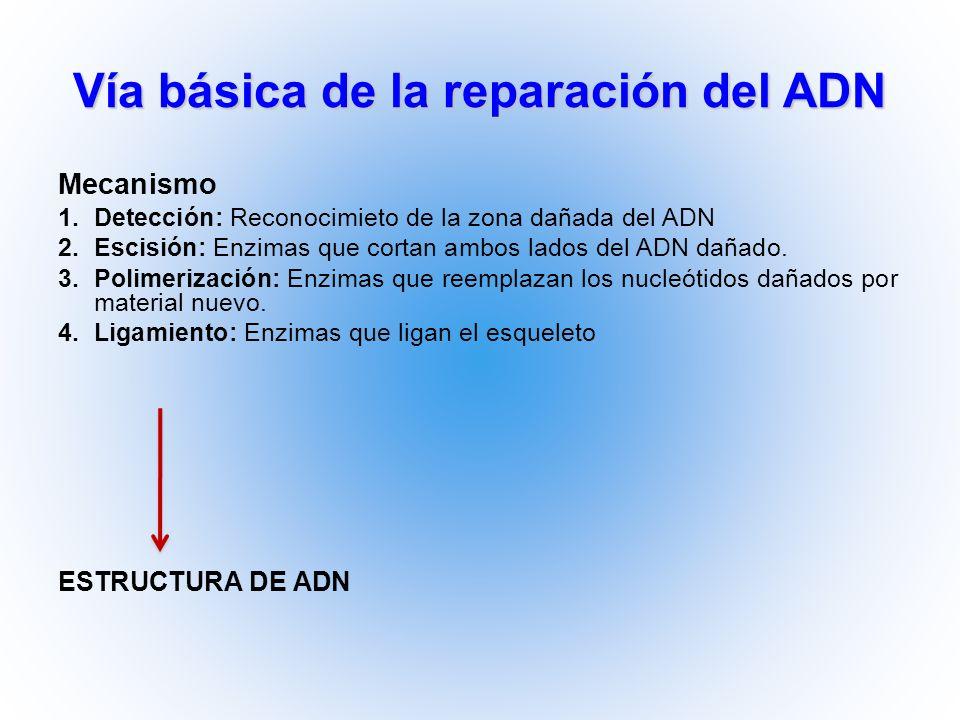 Vía básica de la reparación del ADN Mecanismo 1.Detección: Reconocimieto de la zona dañada del ADN 2.Escisión: Enzimas que cortan ambos lados del ADN