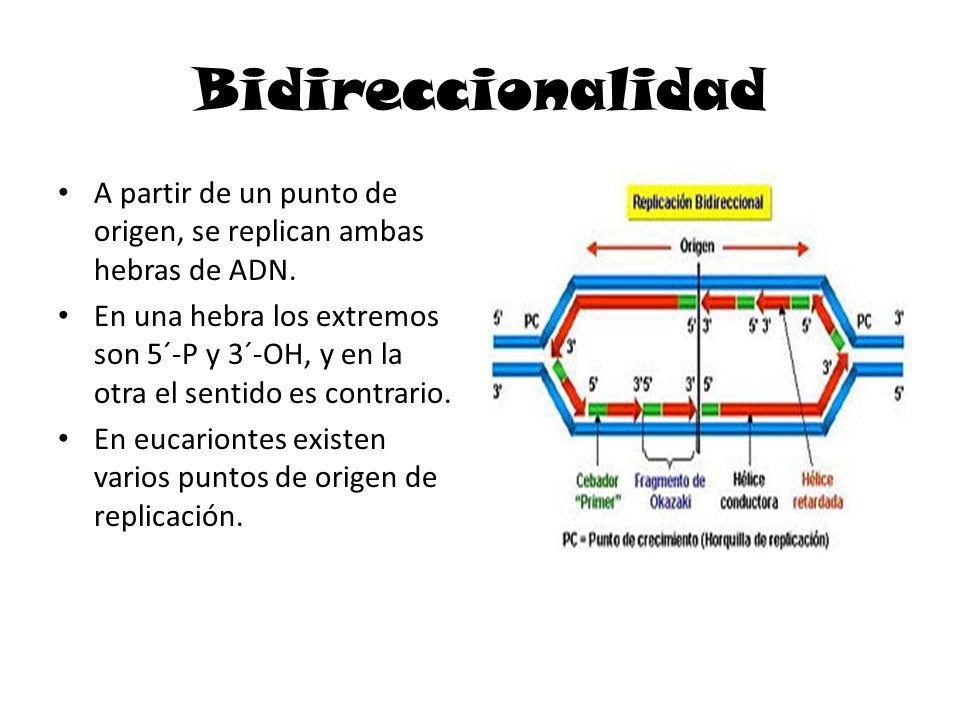 Bidireccionalidad A partir de un punto de origen, se replican ambas hebras de ADN.