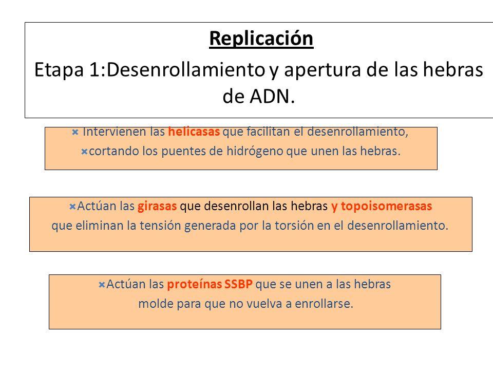Replicación Etapa 1:Desenrollamiento y apertura de las hebras de ADN.