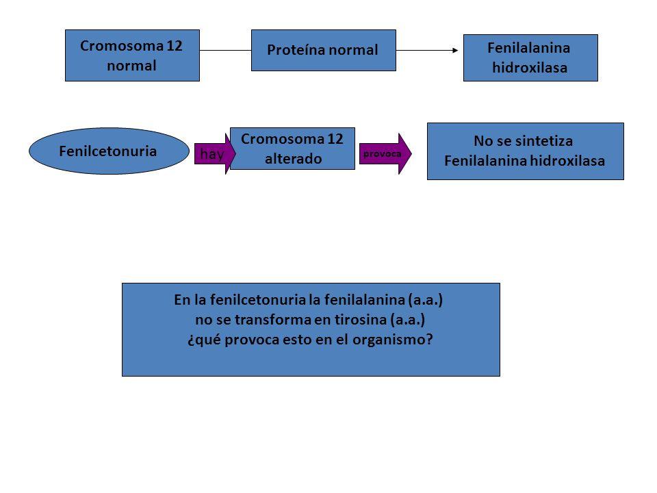 Cromosoma 12 normal Proteína normal Fenilcetonuria Cromosoma 12 alterado No se sintetiza Fenilalanina hidroxilasa hay provoca En la fenilcetonuria la fenilalanina (a.a.) no se transforma en tirosina (a.a.) ¿qué provoca esto en el organismo.